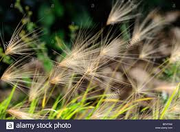 Awn Stock Photos & Awn Stock Images - Alamy Lola The Grass Awn Youtube Canada Wild Rye The Project Bobs Blog Animal Hospital Of Rowlett Awns Making An Summer Danger Lurking In Yo Venice Dangers Foxtails To Dogs Cats Specialty Group Free Images Branch Field Sunlight Crop Ear Agriculture Porcupine Hesperostipa Spartea Ramblings A Seed Picker Field Biology Southeastern Ohio Grasses Part 2 Explore Barley Todays Homepage Filespear Heteropogon Contortus Tertwined Awns A Key Common Hawaii Page 6 Diase World Wheat