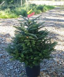 Fraser Christmas Trees Uk by Potted Fraser Fir Scottish Christmas Trees
