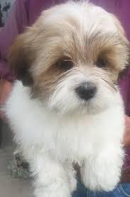 lhasa apso puppy shedding kennel club registerd lhasa apso puppies poulton le fylde