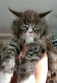 forest cat vs maine coon best 25 forest cat ideas on forest cat