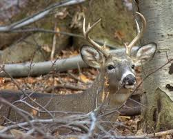 When Do Whitetails Shed Their Antlers by Preserving Deer Antlers Gone Outdoors Your Adventure Awaits