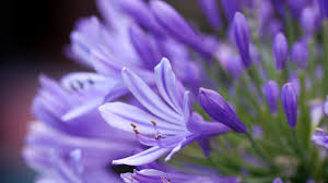Lavender Colored Flowers Wallpaper