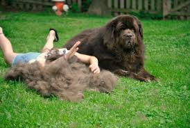 Dogs That Shed Little Hair by A Little Her Big Dog And The Furminator Pethairsolutions