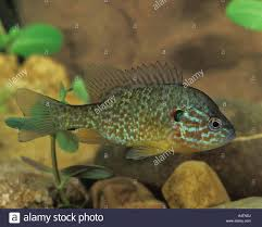 Pumpkin Seed Sunfish Pictures by Pumpkinseed Sunfish Lepomis Gibbosus Stock Photo Royalty Free