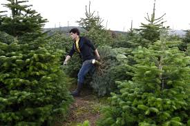 Balsam Christmas Trees Real by How To Buy A Real Christmas Tree Purchase And Care Tips To Make