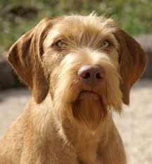 do vizsla dogs shed 68 best vizsla images on hungarian vizsla vizsla