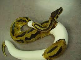 ball python care chicago exotics animal hospital