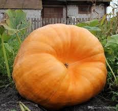 Organic Pumpkin Seeds Bulk by 2017 Rare Seeds Giant Pumpkin Titan Organic Russian Heirloom