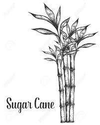 Sugar Cane Stem Branches And Leaf Vector Hand Drawn Illustration Sugarcane Black On White Background