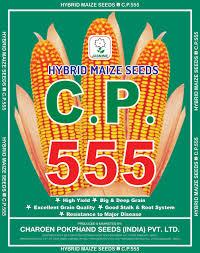 100 555 Design Hybrid Maize CP Cpseedsindia