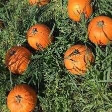 Alameda Pumpkin Patch 2015 by G U0026m Farms 133 Photos U0026 108 Reviews 487 E Airway Blvd