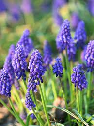best blue flowers for your garden flowering bulbs yellow