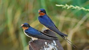 Dwindling Bird Populations In Fukushima (Constantine Alexander's ... European Barn Swallow Hirundo Rustica Stock Photo Royalty Free Swallow Idaho Birds Audubon Guide To North American Posing On A Fence Of Ukraine Birdwatching Alentejo Portugal Boerenzwaluw Barn Stock Image Image Young 67199779 Detailed Close Up Hinterland Whos Who Or The Uk And Ireland Male Swallows