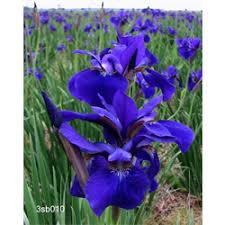 iris bulbs for sale buy flower bulbs in bulk terra ceia farms