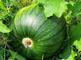 Porcupine Eats Pumpkin by Cs4 Student Garden Bears Fruit And Zucchini Conserve Blog
