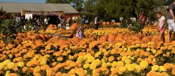 Morgan Hill California Pumpkin Patch by Uesugi Farms Premium Quality And Exceptional Service Is