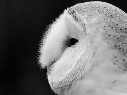 Hdwallpapers87.com - Download Closeup White Barn Owl Desktop ... Barn Owl United Kingdom Eurasian Eagleowl Wallpaper Studio 10 Tens Of Barn Owl Wallpapers And Backgrounds Pictures 72 Images By Faezza On Deviantart Bird Falconry One Animal Closeup Free Image Snowy Hd 78 Sits Pole Wooden Dove Birds Images Hd 169 High Wallpaper 1680x1050 11554 Free Backgrounds At Wildlife Monodomo 2 One Online 4k Desktop For Ultra Tv Wide