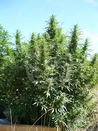 cultiver du cannabis en extérieur philosopher seeds