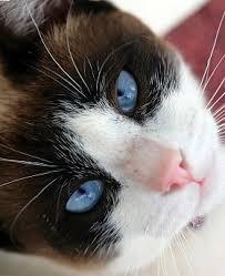 snowshoe cat the snowshoe cat cat breeds encyclopedia