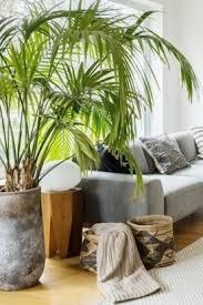 die unkomplizierte kentia palme bild 14 pflanzen für