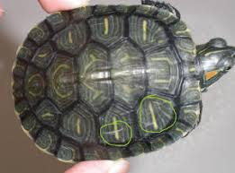 Turtle Shell Not Shedding by Small Turtle1 Jpg
