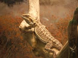 Bearded Dragon Heat Lamp Went Out by Bearded Dragon Giant Beavers And Moore