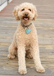 Big Lazy Non Shedding Dogs by The Standard Poodle The Happy Puppy Site