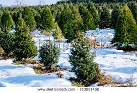 Tannenbaum Christmas Tree Farm Michigan by Michigan Christmas Trees Photo Album Halloween Ideas