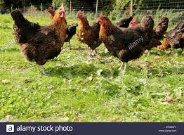 Free Range Organic Chickens, UK Stock Photo, Royalty Free Image ... 14 Best Chicken Breeds Images On Pinterest Grandpas Feeders Automatic Feeder Standard 20lb Feed Backyard Chickens Norfolk Va 28 Run Selling Eggs From Uk My Marans Red Pyle Brahmas And Other Colours Backyard Chickens Page 53 Of 58 Backyard Ideas 2018 Derbyshire Redcaps Uk Cleaning Stock Photos Images Quietest Breeds Uk With Quiet Coop How To Keep Your Hens Laying All Winter Long Top 5 Tips A Newbie The