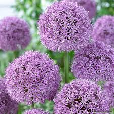 allium bulbs gladiator american