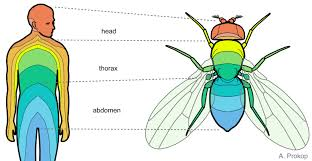Flies And Humans Show A Segmental Anatomy Different Colours Subdivided Into Head Thorax