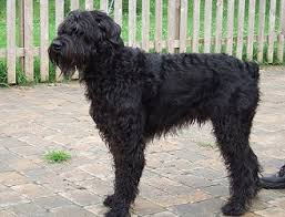 Do Giant Schnauzer Dogs Shed Hair by Draxpark Giant Schnauzer Grooming Guide