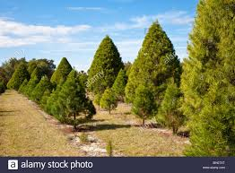 Types Of Christmas Trees To Plant by Eustis Fl Nov 2008 Rows Of Various Types Of Live Trees