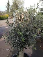 olivenbaum 25 30 jahre alt olea europea hochstamm 160 cm stammumfang 20 cm formgehölz