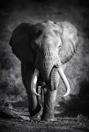 wandbilder mit elefant motiv auf leinwand günstig kaufen