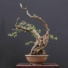 fiche de culture et d entretien de l olivier en bonsaï bonsai ka