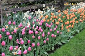 garden design garden design with planting tulip bulbs in