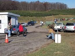 Customers Haul A Harvested Christmas Tree At Choose And Cut Farm In The US State Of Maryland
