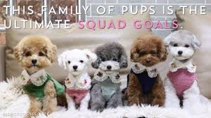30 Dog Breeds That Shed The Most by 8 Fun And Fluffy Facts About Maltese Dogs Maltese Popular Dog