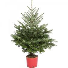 Potted Christmas Tree by Nordmann Fir 3 4ft Real Potted Christmas Tree Jtf Com Jtf