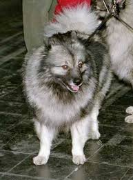 Dogs That Dont Shed Keeshond by Keeshond Breed Information History Health Pictures And More