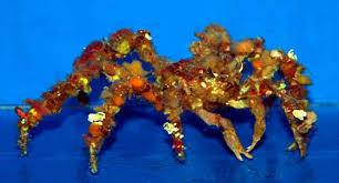decorator crabs eat fish something fishy aquarium livestock inverts clams crabs