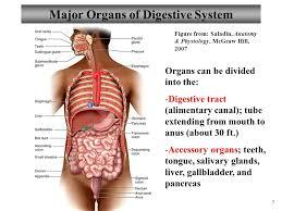 cat digestive system lab 11 human cat digestive system gross microscopic anatomy ppt