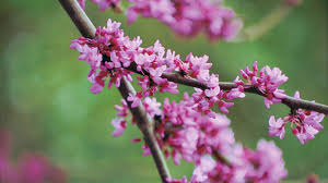 What Kind Of Christmas Tree To Buy by The Complete Guide To Redbuds Southern Living