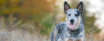 Non Shedding Small Dogs Australia by Australian Cattle Dog Breed Health History Appearance