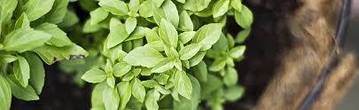 cultiver légumes et fines herbes en pot et balconnière