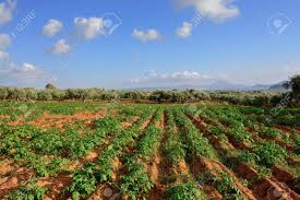Rural Greek Landscape Potato Field Against Olive Garden Messinia