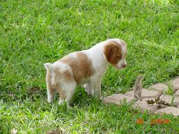 62 best spaniels images on pinterest brittany spaniel puppies