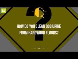 Dog Urine Odor Hardwood Floors by How Do You Clean Dog Urine From Hardwood Floors Youtube