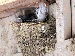 Barn Swallow Nests.   Seasons Flow Natures Engineers Bird Nests The Transient Biologist Travels With Birds Our Second Barn Swallow Hirondelle Rustique Nesting Structure Ask An Expert American Robin Nest Box Plans Those Guys Have Got To A Swallows And Social Cues Beco Swallow Flying Nest At Nosegawa Middle School In Swallows Being Procted King Weekly Sentinel How To Prevent From Building On Your Porch Youtube Earth Rangers Wild Wire Blog